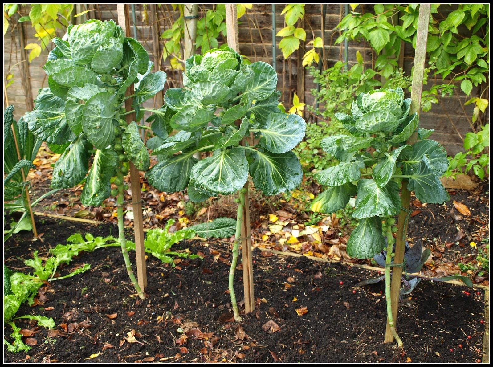 Выращивание брюссельской капусты в открытом грунте фото