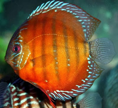 keeping discus fish does require a bit of knowledge on