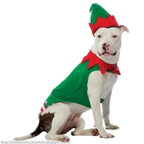 Dog in costume of Christmas elf.