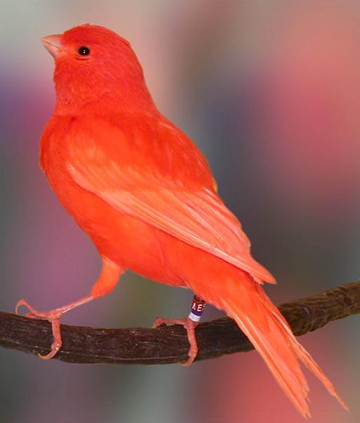 gambar burung kenari f1 - gambar burung