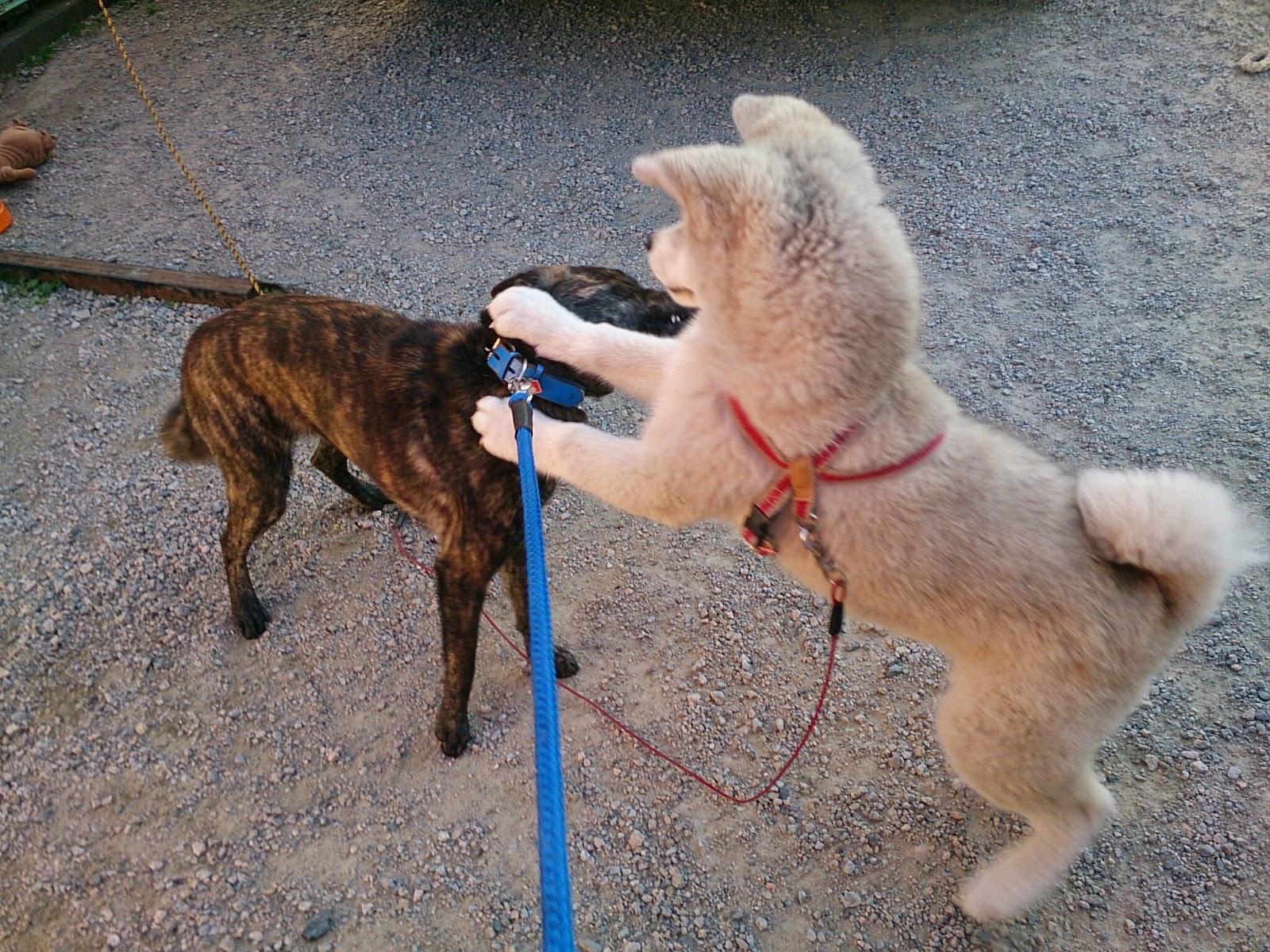 甲斐犬 meets 秋田犬