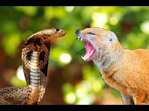 Pashudhan and Animal Science : Mongoose (Nevla)