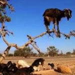 بالصور...الشجرة التي تأكل الخرفان  - الخراف - الماشية