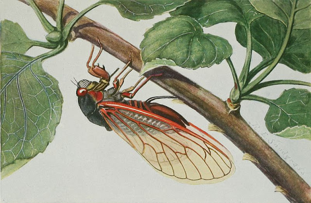 illustration of the seventeen year cicada