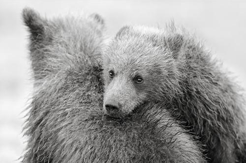 Urso no ombro do outro