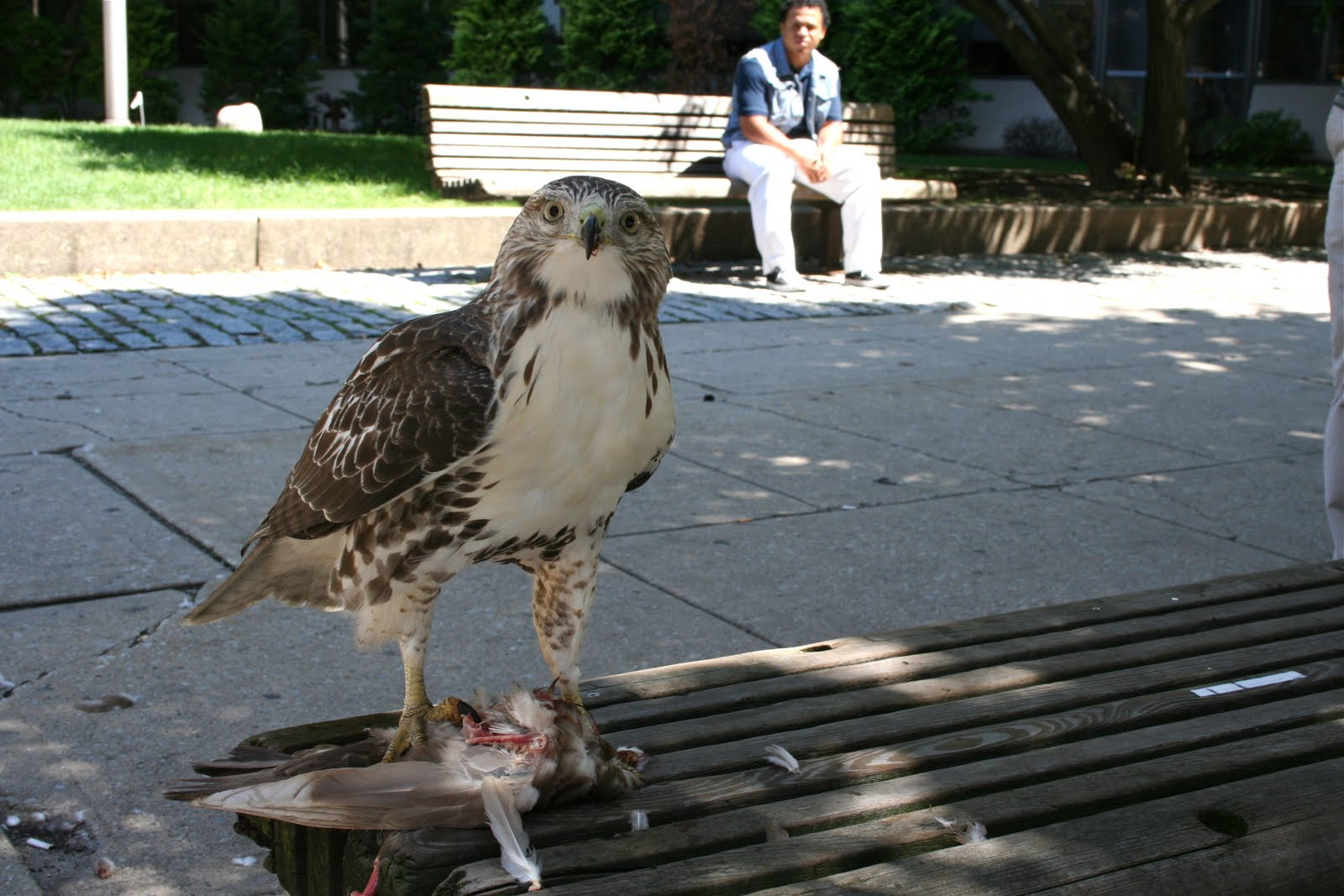 Red-tailed hawk eating pigeon on city bench