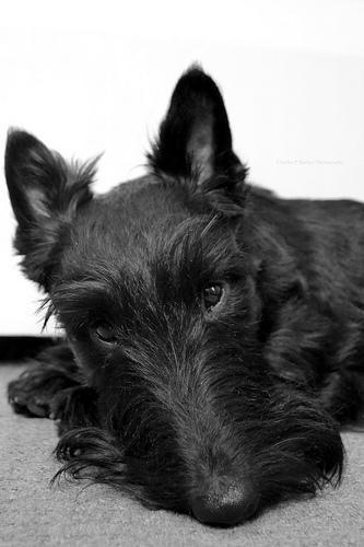Corte De Pelo Yorkshire Terrier - Cortes de pelo básicos para perros yorkshire terrier eHow