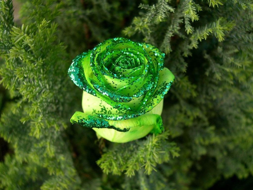 beautiful hd wallpapers green rose hd wallpapers