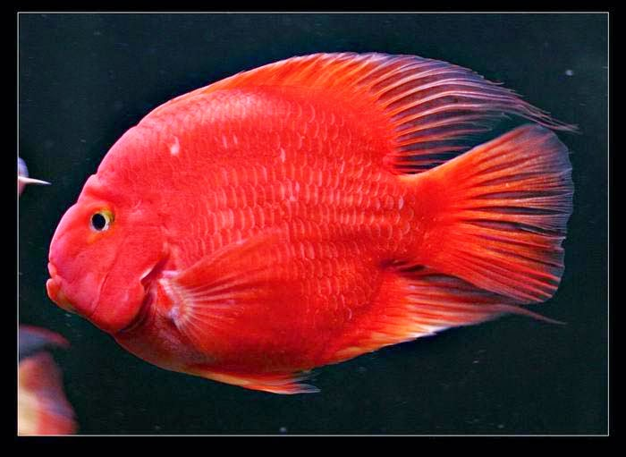 Welcome to aquarium pictures blog fish data blood for Parrot fish freshwater