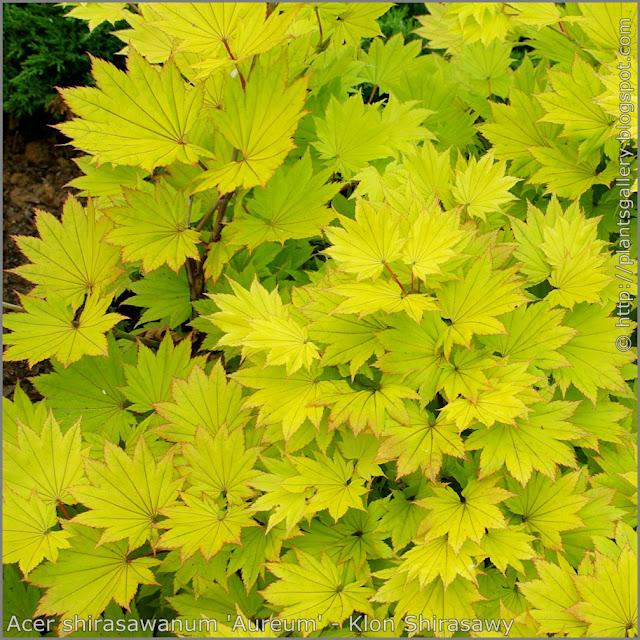 Acer shirasawanum 'Aureum' - Klon Shirasawy liście jesienią