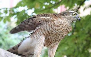 Atmaca kuşu
