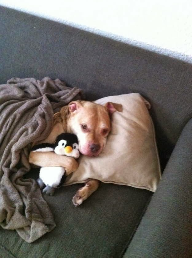 Cute dogs (50 pics), dog pictures, dog hugs stuffed penguin