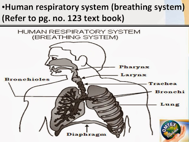 Omtex Classes Human Respiratory System Breathing System Diagram