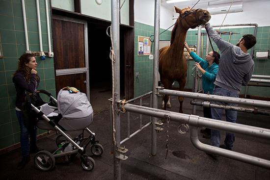 Bác sỹ đang kiểm tra cho một con ngựa bị thương ở chân.