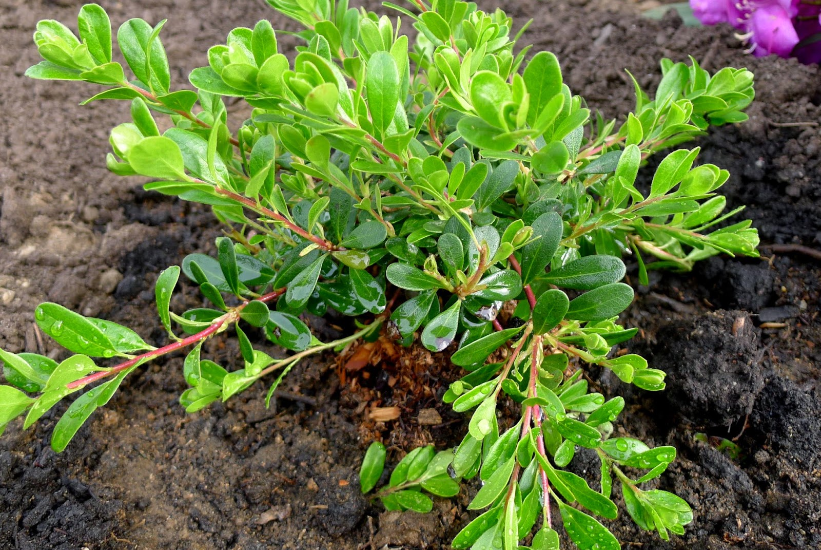 Bearberry, edible landscaping