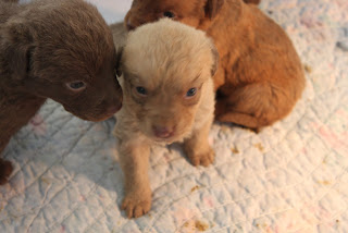 Chesapeake Bay Retriever Puppies 3
