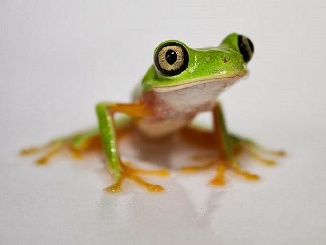 """<img src=""""http://2.bp.blogspot.com/-Ir-A4WxTsp0/Uq9gbU9nYTI/AAAAAAAAFwc/fJSra9do2eg/s1600/ddf.jpeg"""" alt=""""Frogs Animal wallpapers"""" />"""