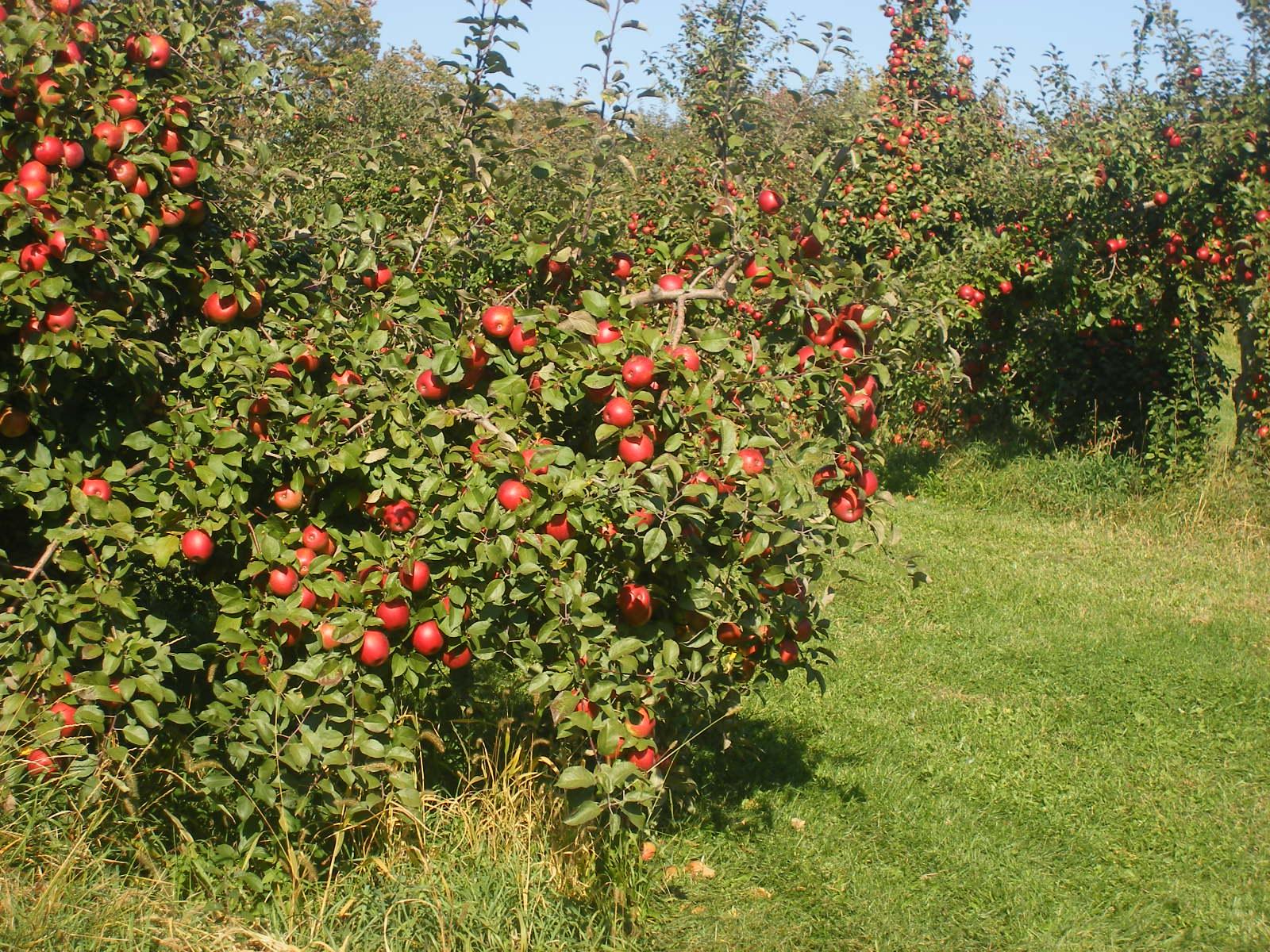 Milwaukee Kukhnya : MN Mondays: Pine Tree Apple Orchard.