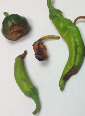 Image of pepper fruit with symptoms of blossom end rot