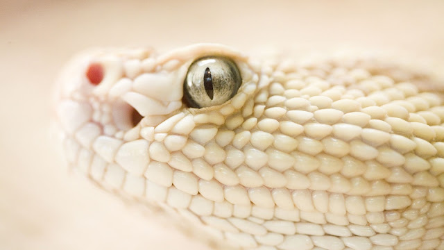 Dangerous White Snake Head