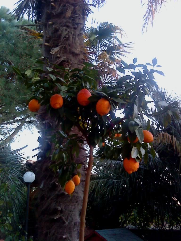 Vaso per agrumi : Orto per tutti: piante da frutto