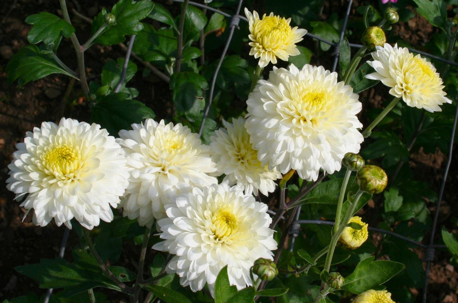 Scottish Artist And His Garden Chrysanthemums