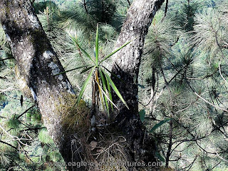 yucca growing epiphytically