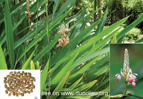 Alpinia oxyphylla Miq.