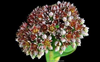 http://fotobabij.blogspot.com/2015/03/rozchodnik-lubczykowy-kwiaty-sedum.html