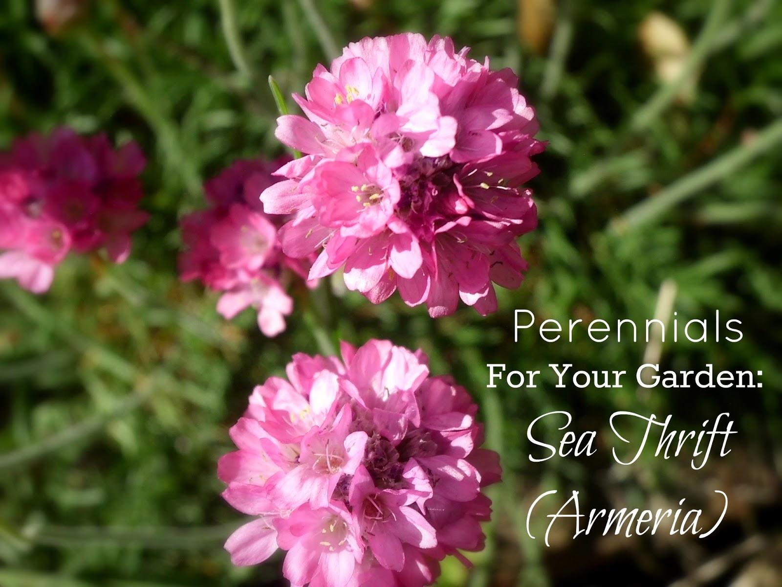 Livin In The Green Perennials For Your Garden Armeria Sea Thrift