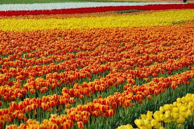 حديقة كيوكينهوف Keukenhof أكبر و أجمل حديقة أزهار في العالم. 3