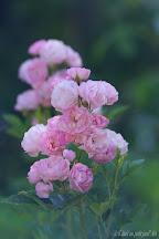 Rose Pois de Senteur Mela Rosa