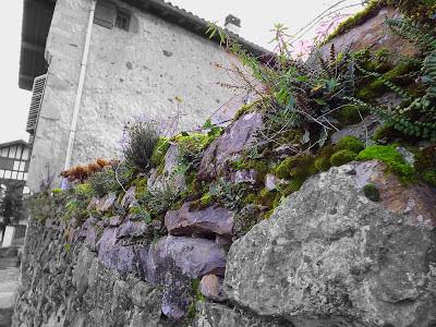 Végétation rupicole sur un vieux mur à Ainhoa, Pays Basque