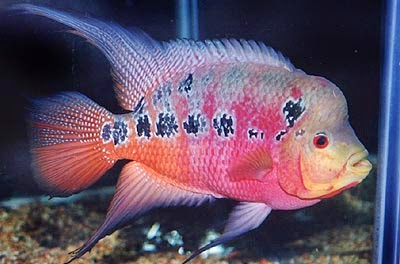 Ikan Louhan (Luo Hans,Flowerhorn)