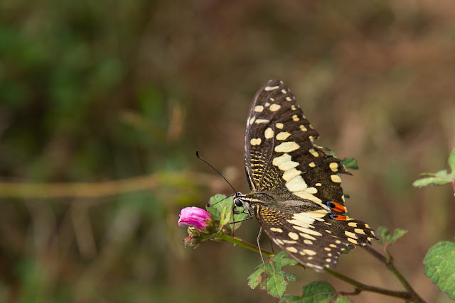 The Lime Swallowtail photographed at Buduruwagala, Sri Lanka