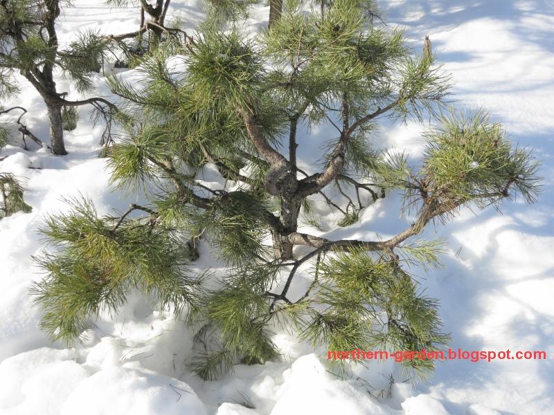 фото ветви сосны