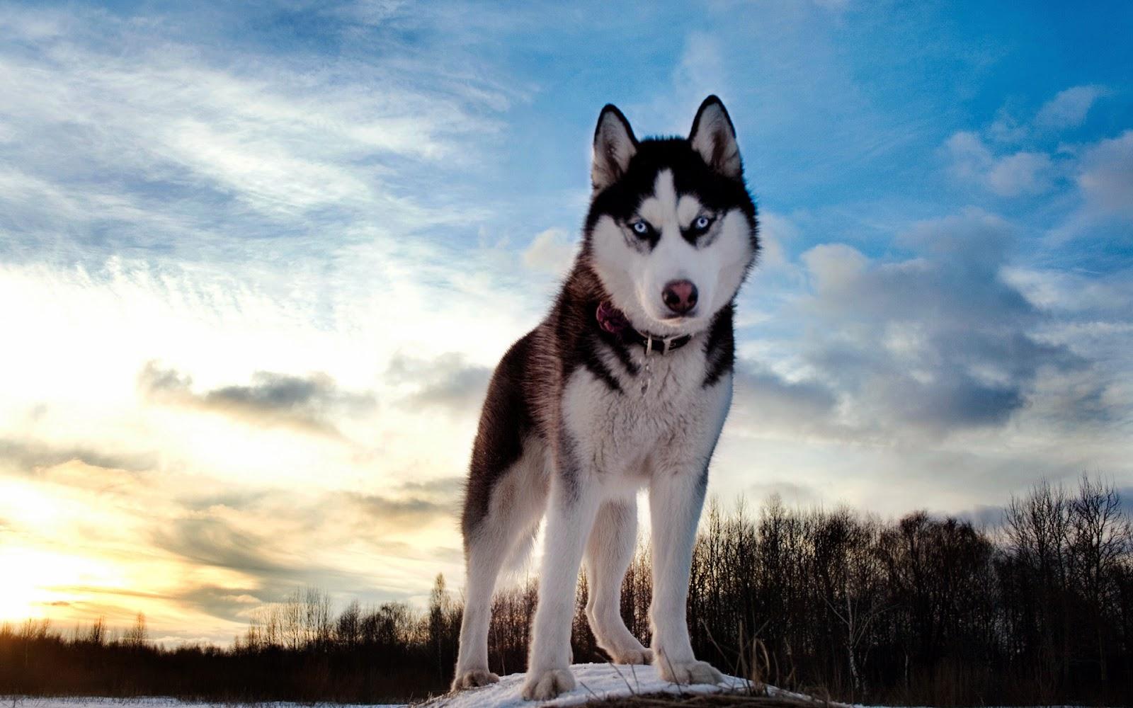 Wallpaper met wolf met blauwe ogen