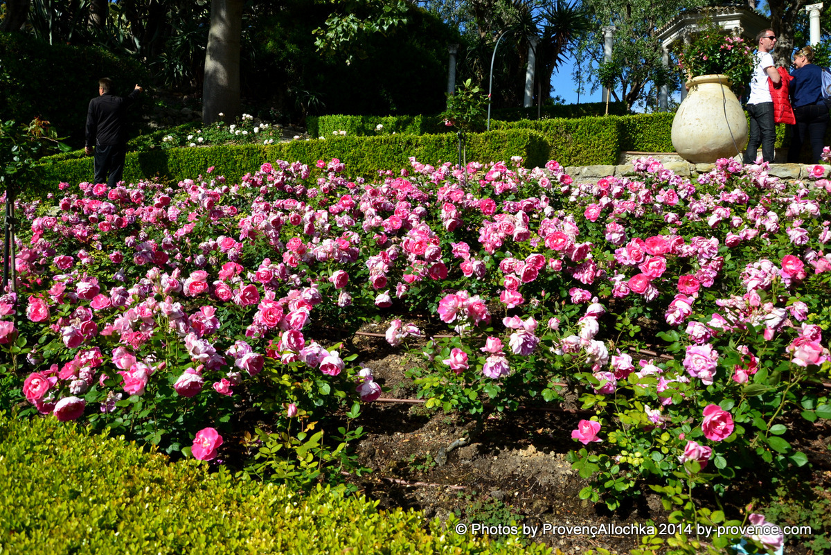 roses.ross en rose