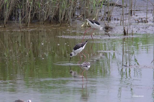 數十隻的高蹺鴴及零星小水鴨。關渡自然公園