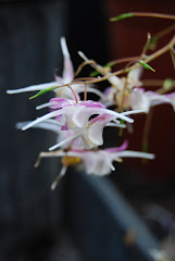 Epimedium 'Hagoromo'