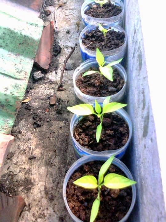 Cara menyemai dan pembibitan benih tanaman cabai cabe untuk pembudidayaan tanaman cabai