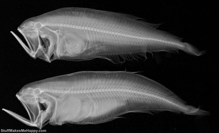 Chascanopsetta Fish