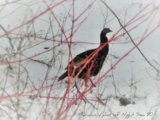 Wild Idaho Turkeys; blog post with pictures.