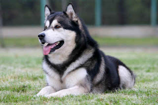 alaskan malamute dog breed puppy pets hound picture