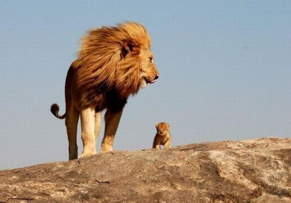 Beautiful Animals Safaris Fun facts about baby lion cubs in the
