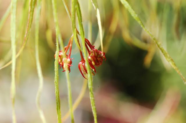 Acer palmatum koto no ito blooms