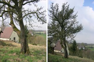 Birnbaum, alter Baum