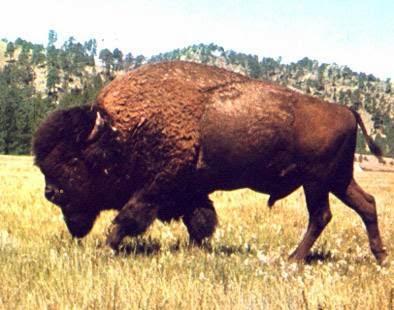El Bisonte Américano