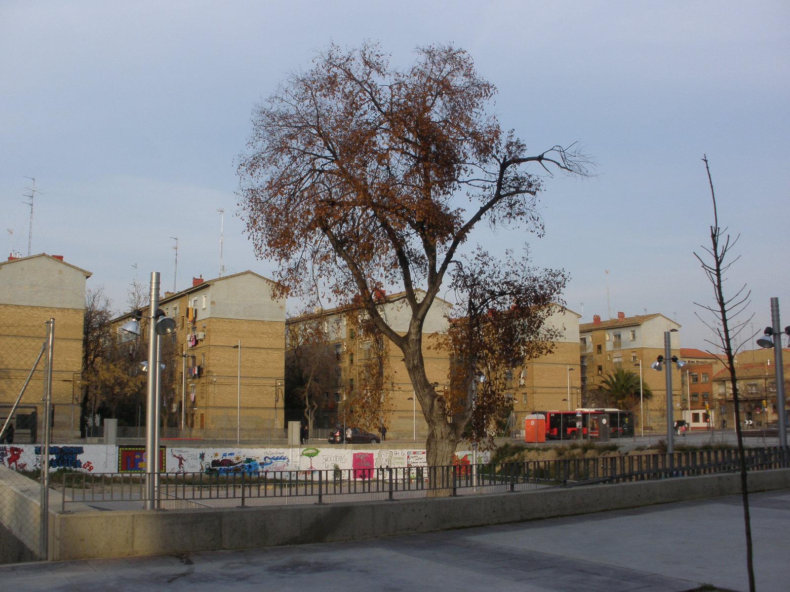 El laurel de la cárcel se cayó el pasado 6 de junio Zaragoza