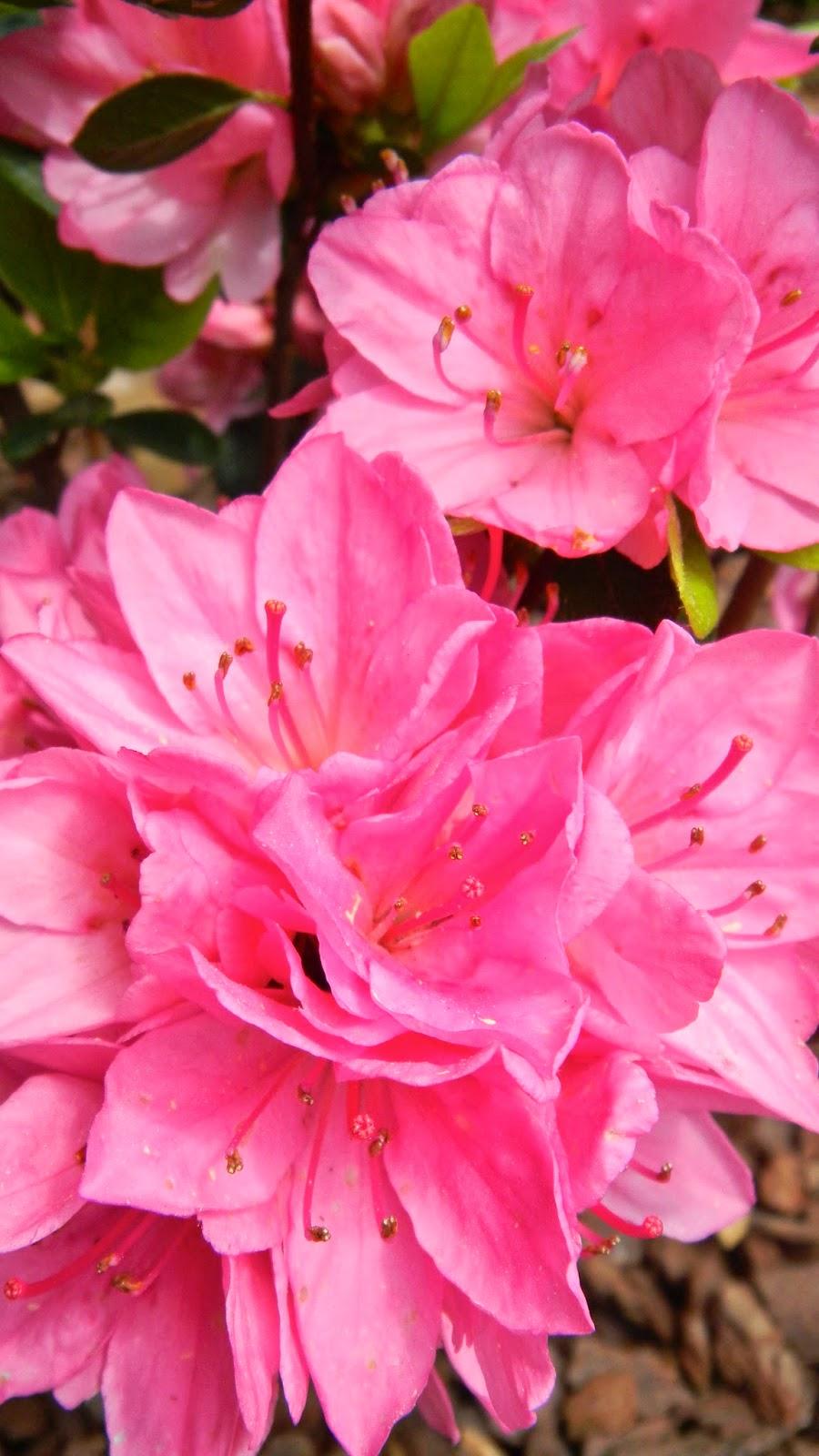 Traditional Pink azalea